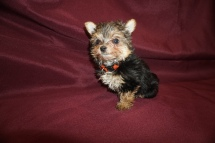Mighty Dog Male CKC Havashire a/k/a Yorkinese $2000 Ready 5/7 HAS DEPOSIT MY NEW HOME CHULUOTA, FL 1 lb 7.8 oz 8 Wks Old
