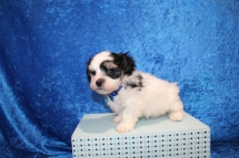 Monte Male CKC Havanese $1750 Ready June 12th SOLD MY NEW HOME LUTZ, FL 2 lbs 1.5 oz 5W4D Old