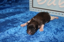 Peter Male Miki $2000 Ready 7/17 HAS DEPOSIT MY NEW HOME ST JOHNS, FL 7.1 oz 4 Days Old