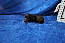Prince (Herlz)Male CKC Havapoo $2000 Ready 7/25 HAS DEPOSIT MY NEW HOME JACKSONVILLE, FL 5.6 oz Just Born