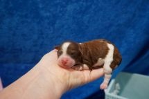 Wolfe Male CKC Havapoo $2000 Ready 7/22 HAS DEPOSIT MY NEW HOME FERNANDINA BEACH, FL 6.4 oz Just Born