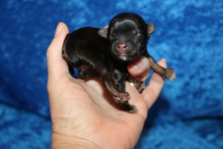 Hans Solo Male CKC Shorkie $2000 Ready 7/18 HAS DEPOSIT MY NEW HOME OXFORD, GA 3.7 oz 1 Day Old
