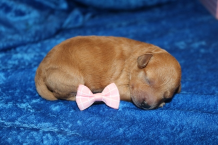 Lilo (Ruby) Female CKC Mini Labradoodle $2000 Ready 7/16 HAS DEPOSIT MY NEW HOME LITHIA, FL 9.8 oz 5 Days old