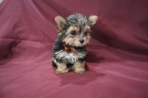 3 Mighty Dog Male CKC Hvashire 8 Wks Old 1 lb 7.8 oz (9)