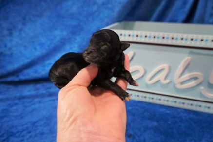 Prince Male CKC Havapoo $2000 Ready 7/25 HAS DEPOSIT 5.6 oz Just Born