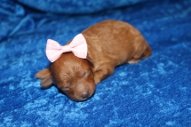 Erica (Riley) Female CKC Mini Labradoodle $2000 Ready 7/16 HAS DEPOSIT MY NEW HOME JACKSONVILLE BEACH, FL 8.6 oz 5 Days old
