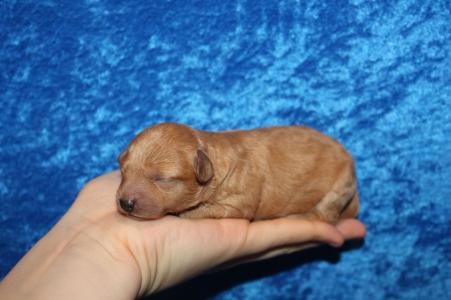 4 Lilo (Ruby) 9.8 oz 5 Days Old (18)