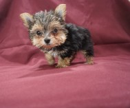 4 Mighty Dog Male CKC Hvashire 8 Wks Old 1 lb 7.8 oz (10)