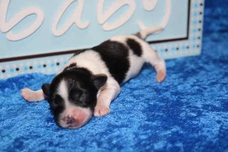 Pepper Male Miki $2000 Ready 7/17 HAS DEPOSIT MY NEW HOME WINTER GARDEN, FL 8.4 oz 4 Days Old