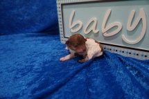 Fox Male CKC Havapoo $2000 Ready 7/22 HAS DEPOSIT MY NEW HOME JACKSONVILLE, FL 5.4 oz Just Born