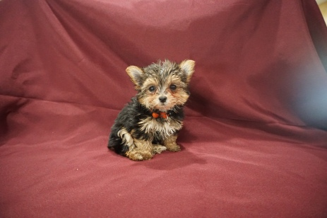 6 Mighty Dog Male CKC Hvashire 8 Wks Old 1 lb 7.8 oz (7)