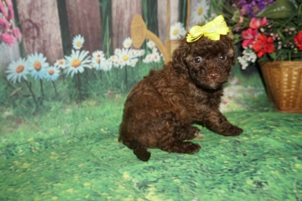 Bella (Cocoa) Female CKC Maltipoo $2000 Ready 7/2 HAS DEPOSIT NEW HOME SMYRNA, GA 1lb 13oz 5 weeks old