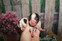 Boomie Male CKC Malshi $2000 Ready 8/8 HAS DEPOSIT MY NEW HOME JACKSONVILLE, FL 4.9 oz Just Born