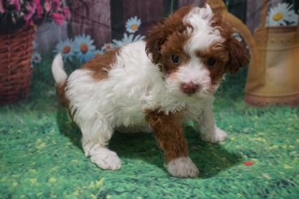 Buddy Male CKC Maltipoo $2000 Ready 7/2 HAS DEPOSIT NEW HOME TAMPA, FL 1lb 15oz 5 weeks old