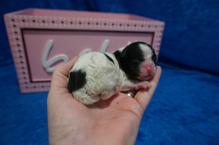 Celene Female CKC Shihpoo $2000 Ready 8/1 HAS DEPOSIT MY NEW HOME GAINESVILLE, FL 5.6 oz JUST BORN