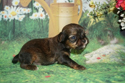 Chewbacca Male CKC Shorkie $2000 Ready 7/18 HAS DEPOSIT GAINESVILLE, FL 10.5oz 2W5D Old