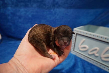 Christina Female CKC Shihpoo $2000 Ready 8/1 HAS DEPOSIT MY NEW HOME LITHIA, FL 4.5 oz JUST BORN