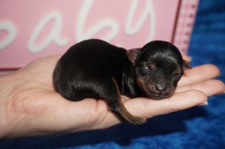 Cleopatra Female CKC Havashire $2000 Ready 7/29 HAS DEPOSIT MY NEW HOME WAYCROSS, GA 3.4 oz JUST BORN