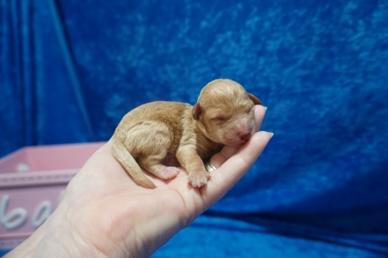 Emma Female CKC Mini Labradoodle $2000 Ready 7/30 HAS DEPOSIT MY NEW HOME JACKSONVILLE, FL 5.7 oz 1 Day Old