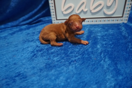Ethan Male CKC Mini Labradoodle $2000 Ready 7/30 HAS DEPOSIT MY NEW HOME SPRING HILL, FL 6.5 oz 1 Day Old