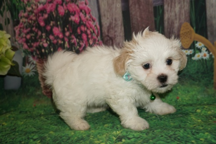 Flash (Frisco) Male CKC Havashu $2000 Ready June 20th HAS DEPOSIT MY NEW HOME JACKSONVILLE, FL 2lb 8oz 6W4D