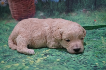 Folgers Male CKC Maltipoo $2000 Ready 7/25 HAS DEPOSIT MY NEW HOME JULIETTE, GA 1 Lb 1 oz 2W2D Old