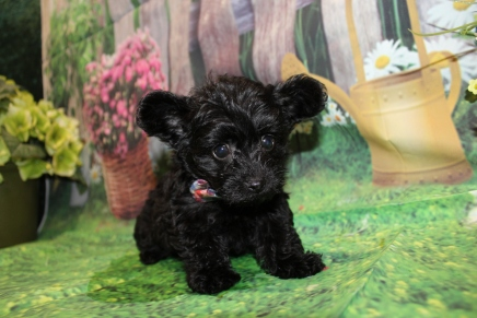 Seabeck Male CKC Yorkipoo $2000 Ready 6/20 HAS DEPOSIT MY NEW HOME YULEE, FL 1 Lb 14 oz 7W3D old
