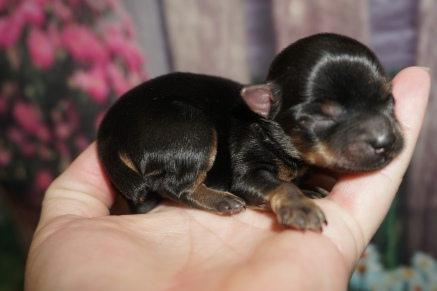 Squirt Male CKC Havashire $2000 Ready 8/13 HAS DEPOSIT MY NEW HOME TALLAHASSEE, FL 4.4 oz JUST BORN