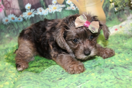 Victoria Female CKC Yorkipoo $2000 Ready 6/20 HAS DEPOSIT MY NEW HOME CLERMONT, FL 2 Lbs 9.5 oz 7W3D old