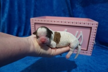 Casey (Zeeza) Female CKC Shihpoo $2000 Ready 8/1 HAS DEPOSIT MY NEW HOME ROCKLEDGE, FL 6.5 oz JUST BORN