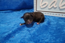 Colby Male CKC Shihpoo $2000 Ready 8/1 HAS DEPOSIT MY NEW HOME ST JOHNS, FL 4 oz JUST BORN