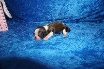 Coco Female CKC Havashu $2000 Ready 8/5 HAS DEPOSIT MY NEW HOME TAMPA FL , FL 4.7 oz Just Born