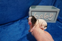 Cooper Male CKC Shihpoo $2000 Ready 8/1 AVAILABLE 6.7 oz JUST BORN