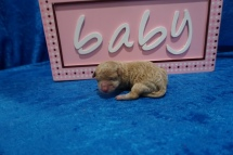 Desiree Female CKC Maltipoo $2000 Ready 8/1 HAS DEPOSIT MY NEW HOME ATLANTIC BEACH, FL 4.7 OZ JUST BORN