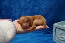 Elliot (Pepper) Male CKC Mini Labradoodle $2000 Ready 7/30 HAS DEPOSIT MY NEW HOME JACKSONVILLE, FL 7.1 oz 1 Day Old