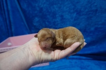 Elsa (Prissy) Female CKC Mini Labradoodle$2000 Ready 7/30 HAS DEPOSIT MY NEW HOME JACKSONVILLE, FL 6.4 oz 1 Day Old