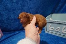 Elvis (Nutmeg) Male CKC Mini Labradoodle $2000 Ready 7/30 HAS DEPOSIT MY NEW HOME JACKSONVILLE, FL 7.4 oz 1 Day Old