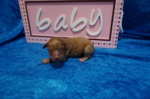 Emily Female CKC Mini Labradoodle $2000 Ready 7/30 HAS DEPOSIT MY NEW HOME JACKSONVILLE BEACH, FL 7.1 oz 1 Day Old