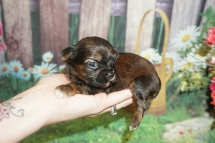Hans Solo Male CKC Shorkie $2000 Ready 7/18 HAS DEPOSIT MY NEW HOME OXFORD, GA 10.4 oz 2W5D Old