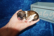 Jack Jack (Cappuccino) Male CKC Havashu $2000 Ready 8/5 HAS DEPOSIT MY NEW HOME STATEN ISLAND, NY 4.7 oz Just Born