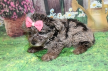 Olympia (Bonni) Female CKC Yorkipoo $2000 Ready 6/20 HAS DEPOSIT MY NEW HOME SAN JOSE, CA 2 Lbs 7.5 oz 7W3D old
