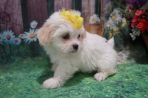 Sparkle (Harley) Female CKC Havashu $2000 Ready June 20th HAS DEPOSIT MY NEW HOME JACKSONVILLE, FL 1lb 15oz 6W4D Old