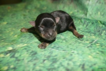 Squirt Male CKC Havashire $2000 Ready 8/13 HAS DEPOSIT MY NEW HOME TALLAHASSEE, FL4.4 oz JUST BORN