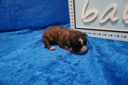 Casanove Male CKC Shihpoo $2000 Ready 8/1 HAS DEPOSIT MY NEW HOME 7.1 oz JUST BORN