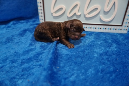 Clyde Male CKC Shihpoo $2000 Ready 8/1 HAS DEPOSIT MY NEW HOME JACKSONVILLE, FL 6.6 oz JUST BORN