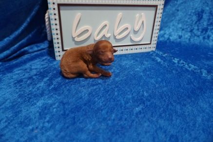 Einstein Male CKC Mini Labradoodle $2000 Ready 7/30 HAS DEPOSIT MY NEW HOME JACKSONVILLE, FL 5.9 oz 1 Day Old