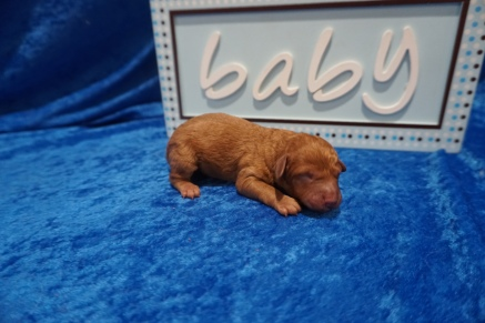 Elvis Male CKC Mini Labradoodle $2000 Ready 7/30 HAS DEPOSIT MY NEW HOME JACKSONVILLE, FL 7.4 oz 1 Day Old