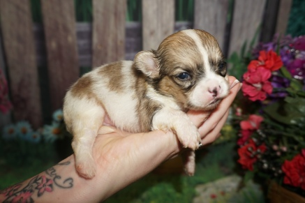 Penny Female Miki $2000 Ready 7/17 HAS DEPOSIT MY NEW HOME JACKSONVILLE, FL 13.2oz 3 weeks old