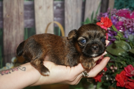 Princess Leia (Willow) Female CKC Shorkie $2000 Ready 7/18 HAS DEPOSIT MY NEW HOME ST SIMON ISLAND, GA 9.7oz 2W5D Old