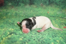 Bubbles Female CKC Malshi $2000 Ready 8/8 HAS DEPOSIT! MY NEW HOME IS IN JACKSONVILLE,FL! 4.4 oz Just Born